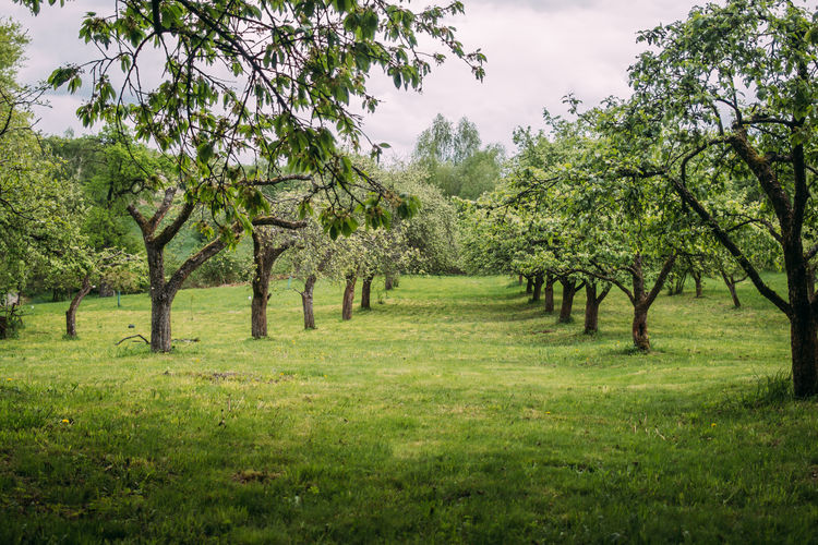 Green spring tree orchard Tree Growth Landscape Nature Grass Plant Green Color Field Land Trees Orchard