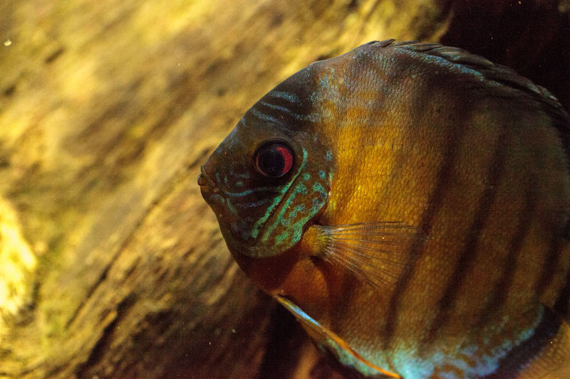 Red turquoise discus fish Symphysodon also called cichlid fish are found in the Amazon basin Animal Themes Animal Wildlife Animals In The Wild Cichlid Cichlid Fish Close-up Day Discus Discus Fish Fish Nature No People One Animal Red Turquoise Discus Symphysodon Underwater