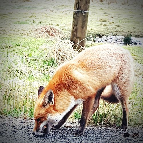 Wild Life Photograph Animal Themes Mammal One Animal Domestic Animals Grass No People Day Field Young Animal Nature Livestock Animals In The Wild S7 Edge Photography Taking Pictures Dumfries And Galloway Landscape Taking Photos Nature Wildlife & Nature Wildlife Photography Showcase April Fox🐺 Outdoors Outdoors Wildlife The Great Outdoors - 2017 EyeEm Awards