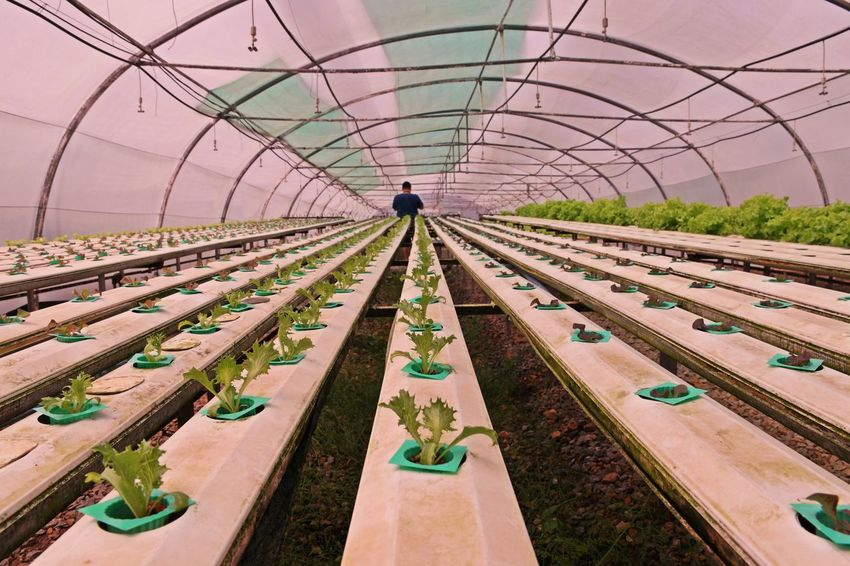 hydroponic vegetable production from water evaporation greenhouse, Thailand Agriculture Farm Freshness Green Greenhouse Farming Leafy Vegetables Modern Thailand Evaporation Greenhouse Fertigation Garden Healthy Eating Hydroponic Vegetables Liquid Fertilizer Technology Water Cooling