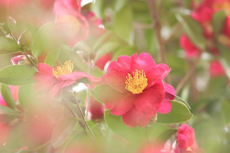 日本 Japan お写ん歩 カメラ女子 お散歩 花 山茶花 Flower Nature Plant Pink Color Beauty In Nature Flower Head Petal Close-up Beauty Blossom Day