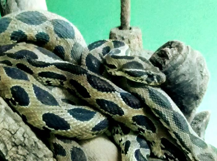 Entangled Snakes In Nature