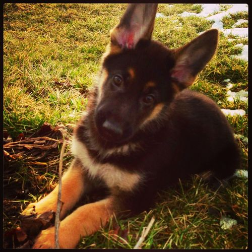 Puppy Love ❤ Adorable German Shepherd
