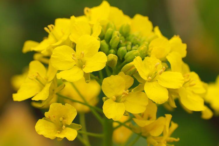 菜の花 Canola
