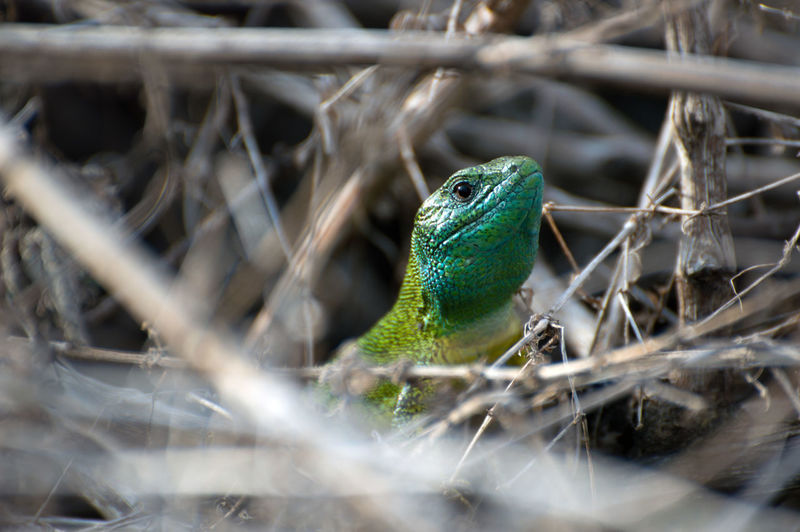 Close-Up Of Green Lizard Perching On Leaf