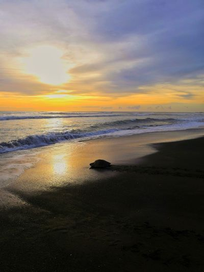 Playa Ostional Photography No People Lumix Beachphotography Cloud - Sky Focus On Foreground Turtle Costa Rica Tortoise Shell Love Pet Portraits Water Low Tide Sea Wave Sunset Beach Sand Reflection Tide Dusk Seascape Horizon Over Water Coast Romantic Sky Atmospheric Mood Dramatic Sky Surf Atmosphere