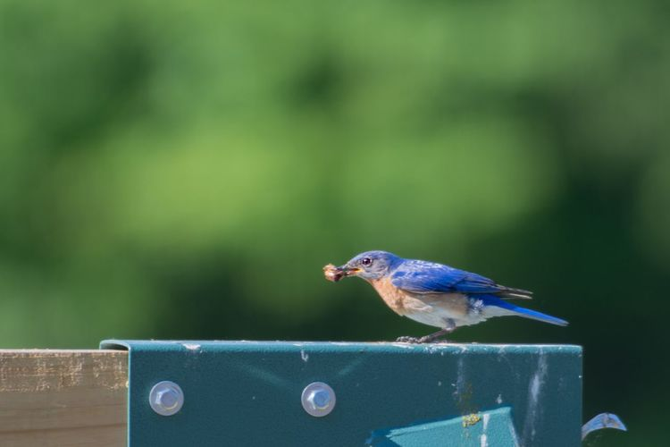 Blue bird Bird Animal Wildlife Vertebrate Animals In The Wild Perching One Animal Focus On Foreground No People Day Nature Close-up Blue Beauty In Nature Full Length Outdoors Mouth Open Songbird  Side View