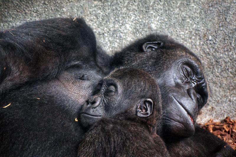 Close-up of gorilla family