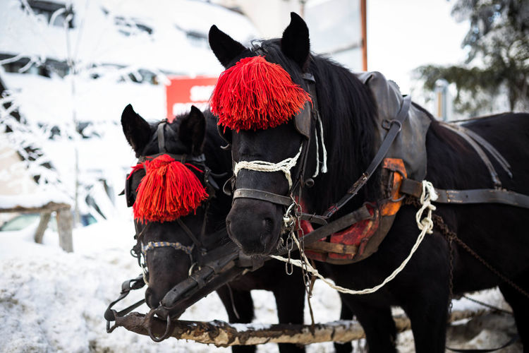 Animal Themes Borovets Close-up Cold Temperature Day Domestic Animals Horse Mammal Outdoors Red Snow Two Winter