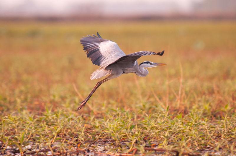 Grey heron;