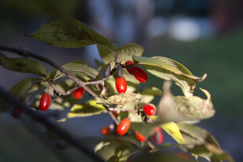 Hanbat Arboretum in Daejeon, Chungnam, South Korea Autumn Fall Beauty Hanbat Arboretum Arboretum Beauty In Nature Berry Branch Close-up Day Focus On Foreground Food Food And Drink Freshness Fruit Growing Growth Hanbat Park Nature No People Outdoors Plant Red Rose Hip Tree