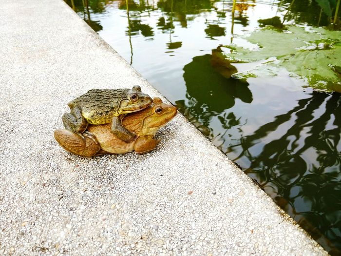 Frogs Frog Breeding Frog Perspective High Angle View Water Reflection Day No People Outdoors Nature Water Reflections Backgrounds Lotus Beauty In Nature