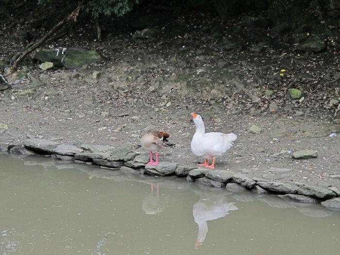 Water Bird Lake Two Animals Swan Water Bird Ugly Duckling Uglyduckling Fairytale  Talking Communication