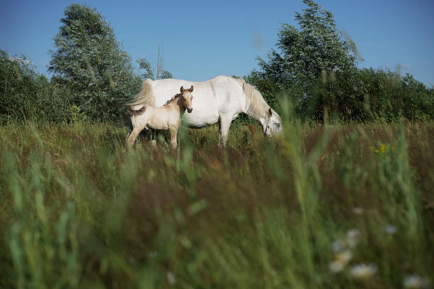 Belarus Belarus Nature Horses Animal Themes Beauty In Nature Clear Sky Domestic Animals Field Grass Horse Mammal Nature No People Outdoors Plant Village Village Life