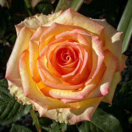 Orange rose Flower Head Flower Rose - Flower Petal Close-up Plant Blossom Botany Dew EyeEmNewHere