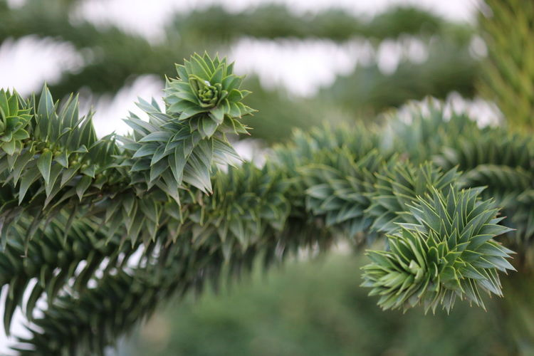 Zweig Zweige Nature Photography Nature Plant Green Color Growth Close-up Beauty In Nature Leaf No People Plant Part Tree Focus On Foreground Day Pine Tree Tranquility Selective Focus Coniferous Tree Branch Outdoors Needle - Plant Part Freshness Fir Tree Spiky