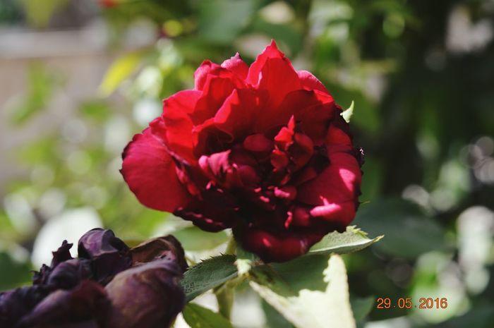 الوردة - لا تفقد جمالها