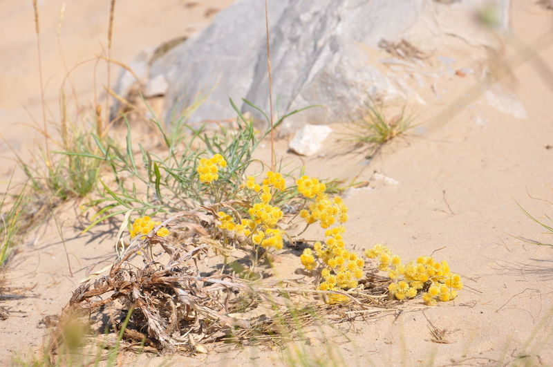 Close-up of yellow flowering plants on sand