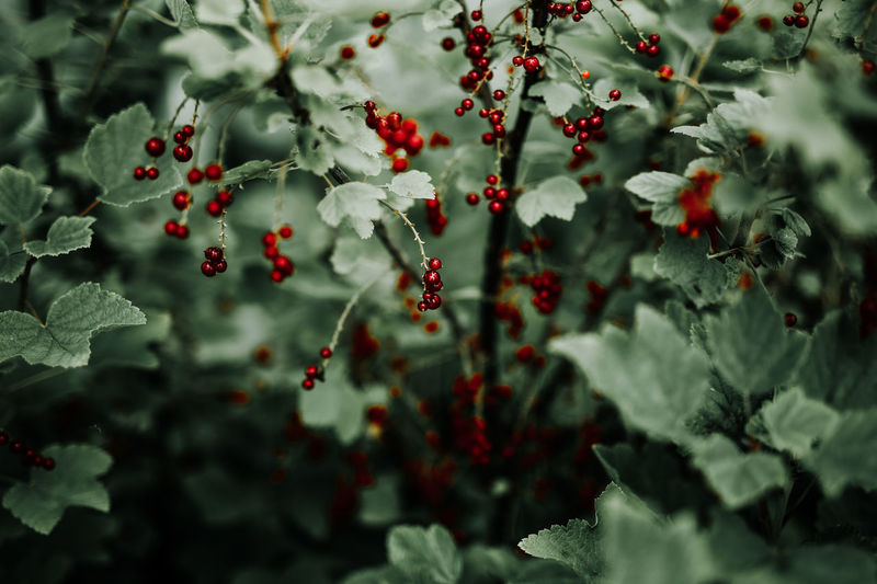 Close-Up Of Red Currants On Plants