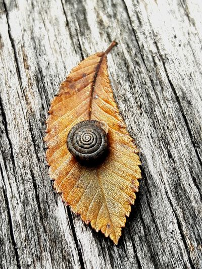 Backyard nature EyeEm Best Shots EyeEm Selects My Original Photo EyeEm Gallery Nature_collection Nature Photography Samsungphotography Snail Leaves Wood - Material High Angle View Close-up Animal Shell Shell Textured  Wooden Rough Autumn Mood