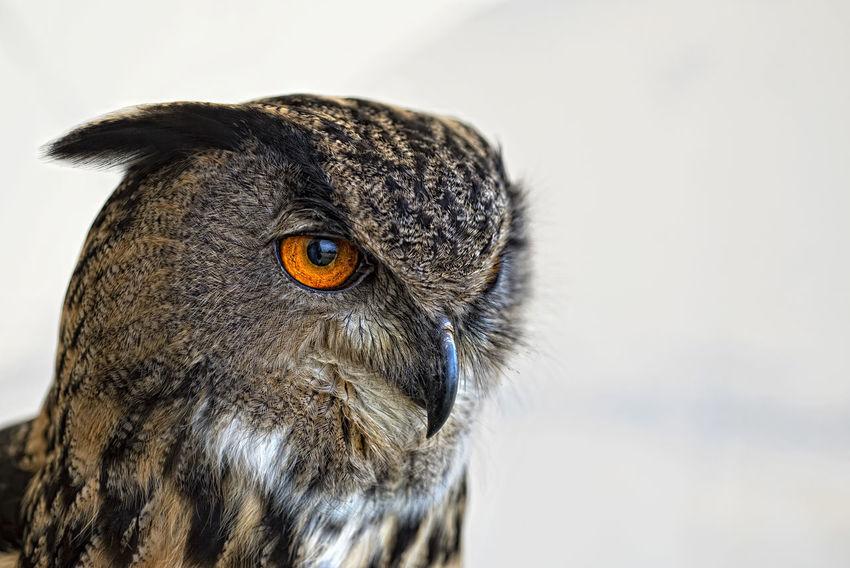 Bird Bird Photography Eye Feather  Nature Owl Owls Short Eared Owl