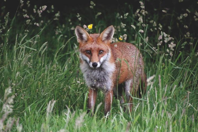 Wild fox in field