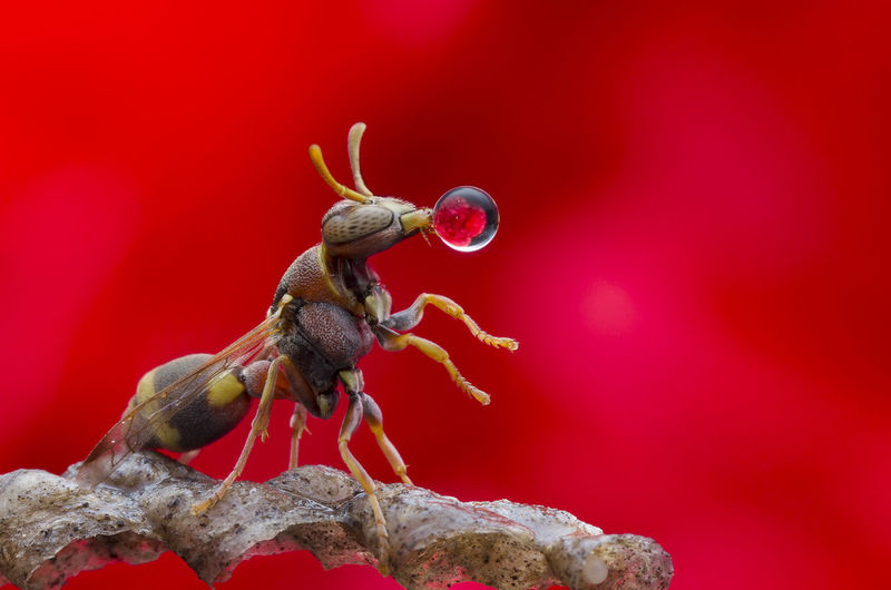 Wasp Blowing