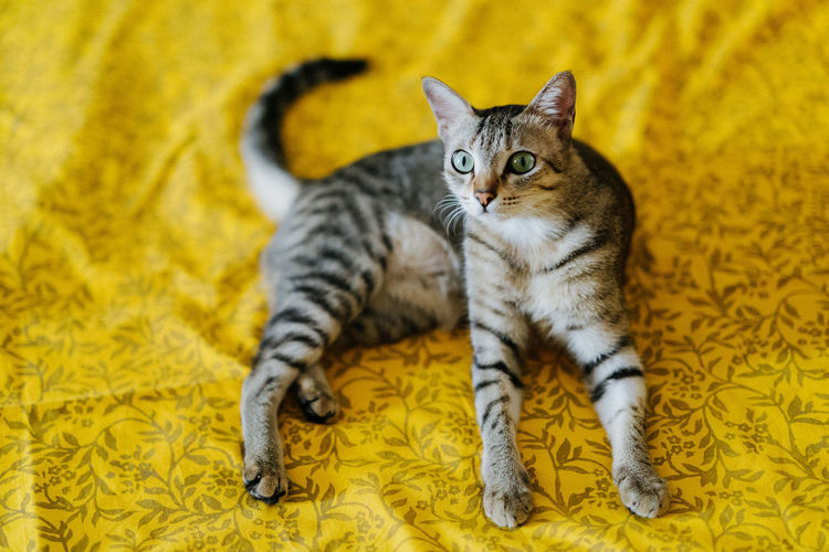 High Angle View Of Portrait Tabby Cat Relaxing On Bed