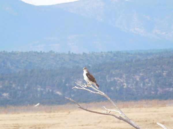 Ferruginous Hawk Hawk Animal Themes Animal Wildlife Animals In The Wild Beauty In Nature Bird Bird Of Prey Day Focus On Foreground Landscape Mountain Nature No People One Animal Outdoors Sky