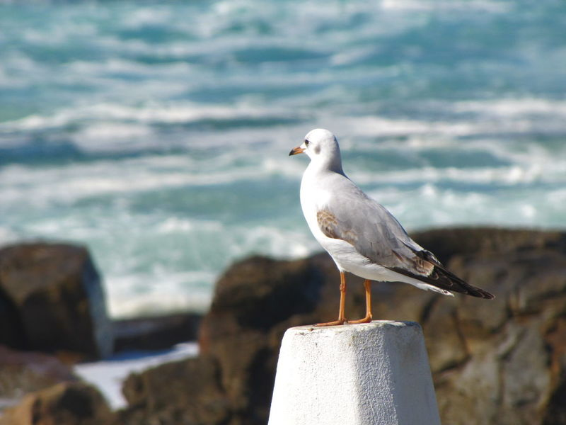 Animal Themes Animal Wildlife Animals In The Wild Beach Beauty In Nature Bird Black-headed Gull Day Nature No People One Animal Outdoors Perching Sea Sea Bird Seagull Water