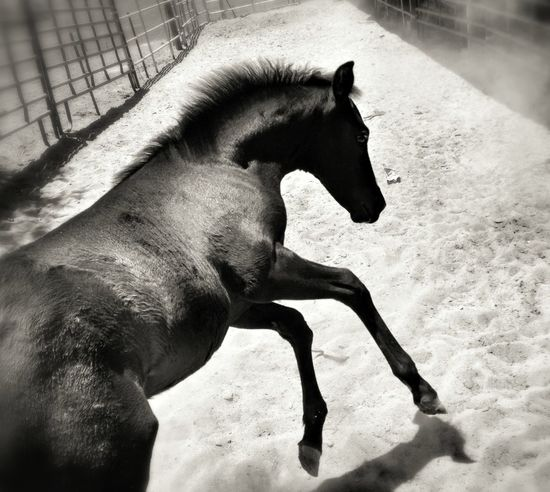 Blackandwhite Horse Colt Frisky