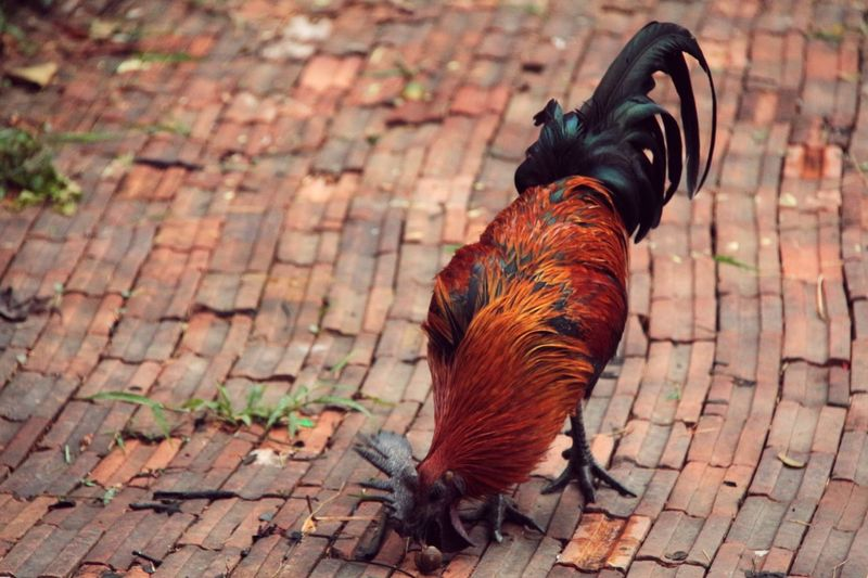 Black Fighting Rooster Colorful Bird Close Up Local Life in North Thailand South East Asia
