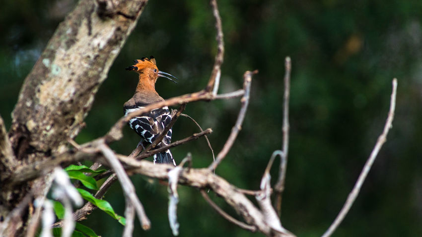Common Hoopoe bird in nature. Animal Themes Animal Wildlife Animals In The Wild Beauty In Nature Bird Branch Close-up Day Focus On Foreground Mammal Nature No People One Animal Outdoors Perching Tree