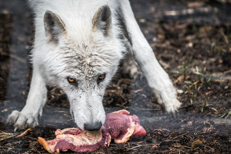 Close-up portrait of wolf eating raw meat on field