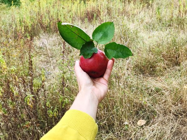 Apple - Fruit Human Hand Fruit Hand Human Body Part One Person Real People Healthy Eating Food Holding Personal Perspective Food And Drink Freshness Unrecognizable Person Red Nature Wellbeing Body Part