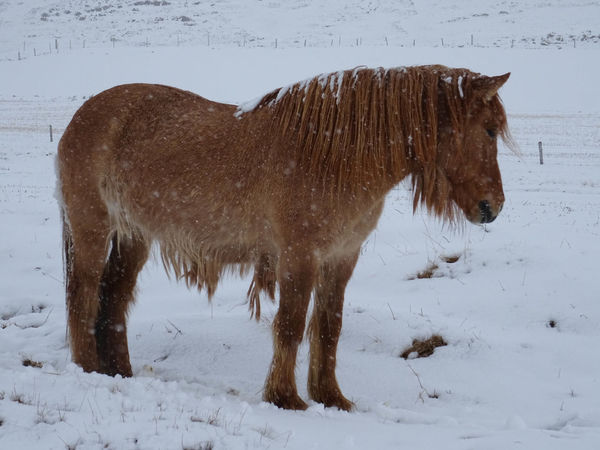 Innsbruck Islandpferd  Pony Animal Animal Themes Animal Wildlife Brown Claudia Ioan Cold Temperature Domestic Domestic Animals Field Herbivorous Horse Iceland_collection Land Livestock Mammal Mountain Nature No People One Animal Snow Snowcapped Mountain Snowing Vertebrate White Color Winter