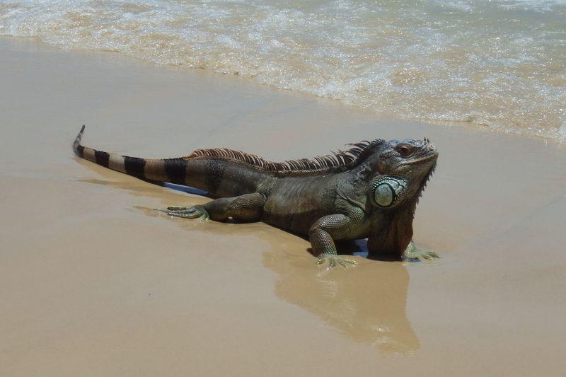 Morro de Sao Paulo island, Bahia, Brazil Animal Themes Animals In The Wild Beach Brazil Day Iguana Lizard Morro De São Paulo Nature No People One Animal Outdoors Sand Sea Water