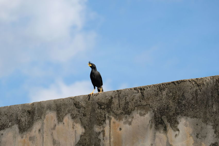 Animal Animal Themes Animal Wildlife Animals In The Wild Architecture At The Edge Of Bird Black Color Day Low Angle View Nature No People One Animal Outdoors Perching Retaining Wall Side View Sky Vertebrate Wall Wall - Building Feature