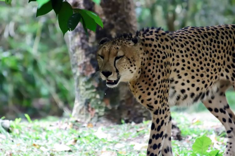 Wildlife and forestry Animal Animal Themes Animal Wildlife Animals In The Wild Big Cat Carnivora Cat Cheetah Day Feline Focus On Foreground Land Leopard Mammal Nature No People One Animal Outdoors Plant Spotted Tree Vertebrate Whisker
