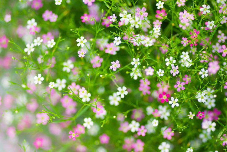 Gypsophila Flowers in soft and blurry mood. Gypsophila Soft Mood Beauty In Nature Close-up Day Flower Flower Head Fragility Freshness Growth Nature No People Outdoors Pink Flowers Plant Soft Pastel  Tiny Flowers White Flowers