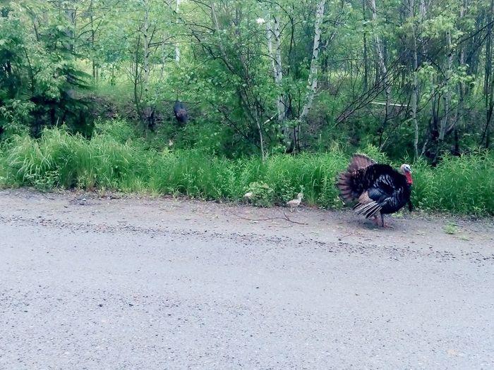 turkeys running the road