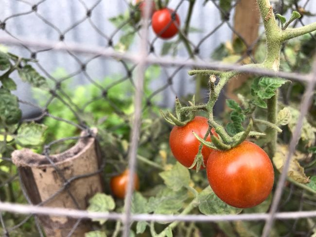 Tomato 🍅 at my home 🏡 Food Fruit Food And Drink Healthy Eating Freshness Tomato Growth