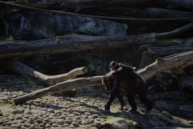 Close-Up Of Monkeys Walking On Rock
