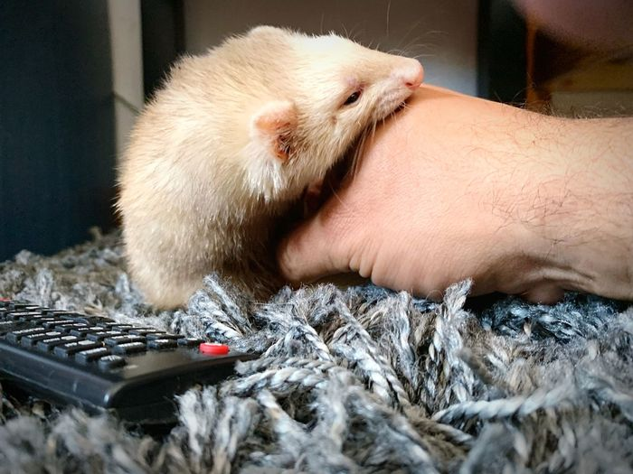 Close-up of human hand with ferret on rug at home