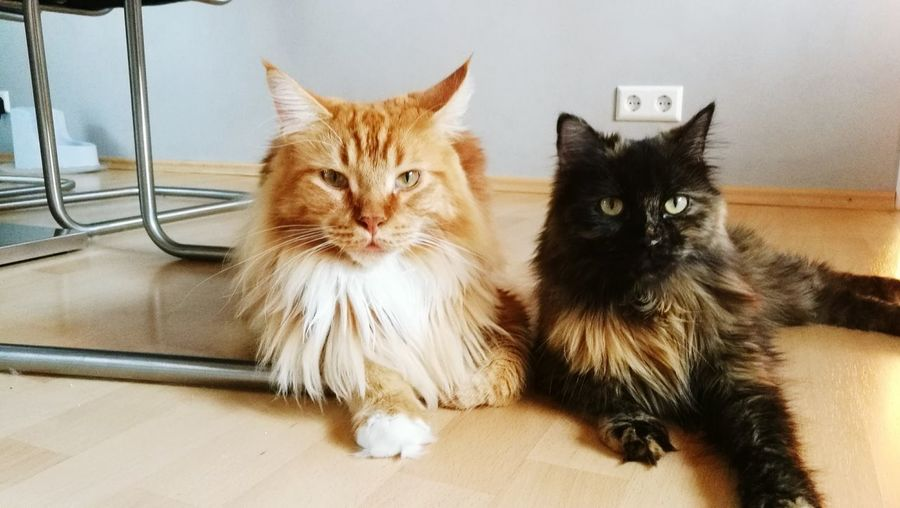 Portrait of two cats looking at camera
