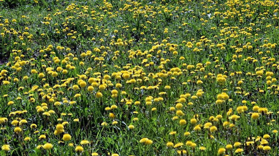 Dandelion meadow. Abundance Agriculture Backgrounds Beauty In Nature Dandelion Dandelion Field Dandelion Meadow Field Flower Flower Head Flowerbed Flowering Plant Fragility Freshness Full Frame Growth Land Landscape Nature No People Outdoors Plant Vulnerability  Wild Flowers Yellow