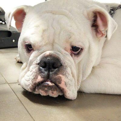 буля бульдог английскийбульдог Dog buldog