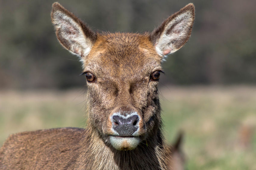 into the lense Animal Themes Animals Animals In The Wild Animals In The Wild Deer Deer Deer Closeup Looking At Camera Nature Nature Photography One Animal Portrait Wildlife Wildlife & Nature Doe Gaze Wet Nose Curious