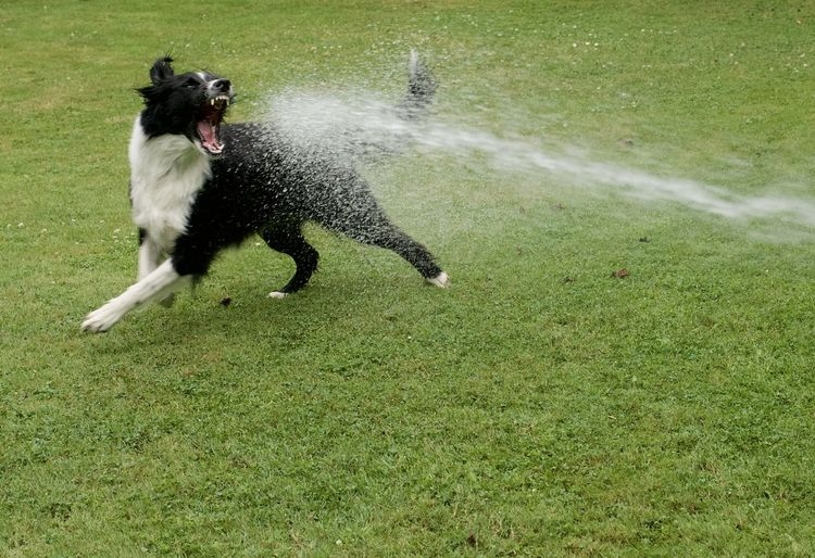 Dog who loves playing with water Animal Themes Border Collie Border Collies Dog Dog Playing Wit Water Dog Playing With Water Dog Portrait Domestic Animals Mammal Pets
