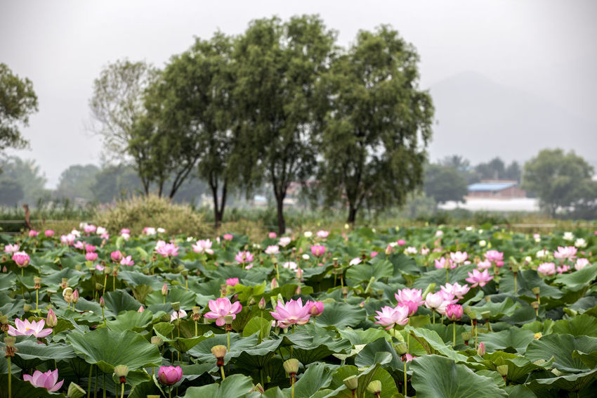 Semiwon is famous for its lotus garden, located at Yangsury, Yangpyeong. Abundance Beauty In Nature Blooming Blossom Day Field Flower Flower Head Fragility Freshness Green Color Growth In Bloom Leaf Lotus Nature Outdoors Petal Pink Color Plant Scenics Semiwon Tranquil Scene Tranquility Tree